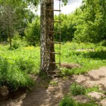 ladder on a Birch tree